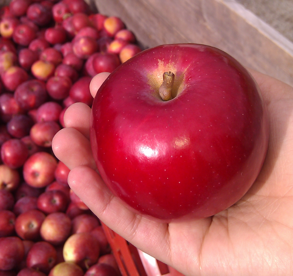 Beautiful red Apple